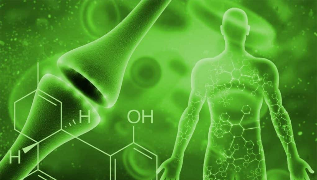 CBD AFFECTS THE PHYSIOLOGY OF THE BODY